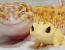 This Gecko Can't Stop Smiling When He's Around His Toy Gecko, And Their Pics Will Make Your Day (10 Pics)