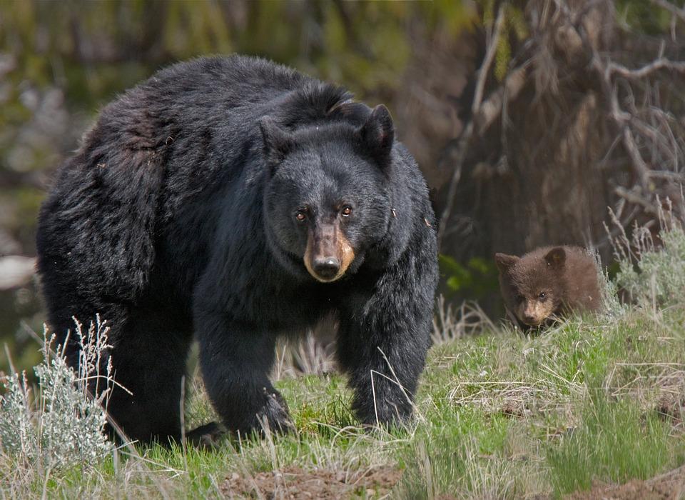 Scary Helmet-Cam Video of a Bear Running After a Mountain Biker is ...