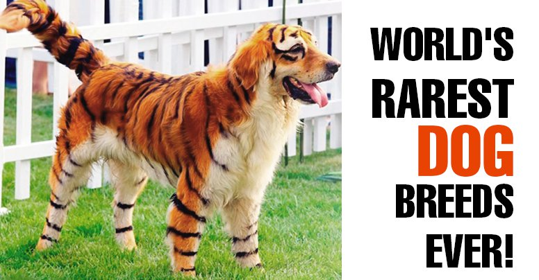 10 Rarest Dog Breeds in the World | LikeWorld